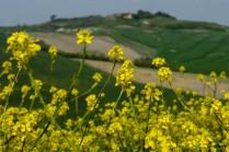 Crete Senesi Wild Flowers