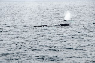 Mother Whale and her calf feeding.