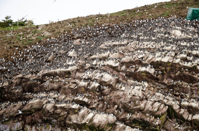 Roack loaded with puffins and other birds