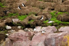Interesting, as the holes are condominiums for married puffins. The bachelors are alone on the rock waiting for a mate.
